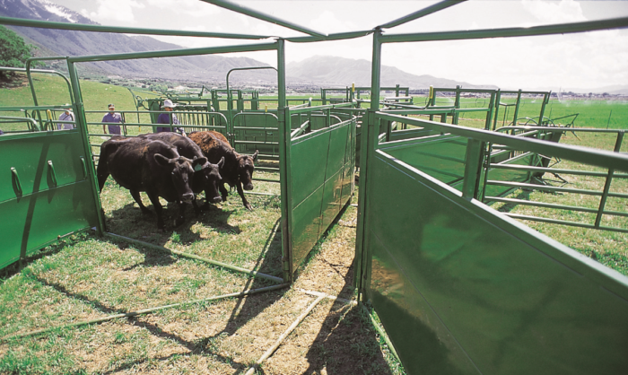 cows entering tub on powder river working system