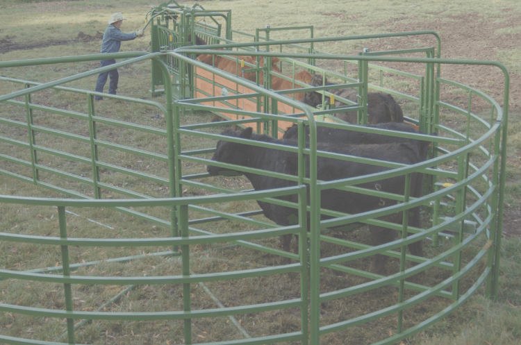 cows in 1500 series working system