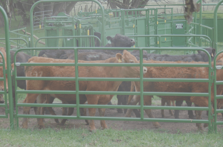 Cattle pushing against Classic panel