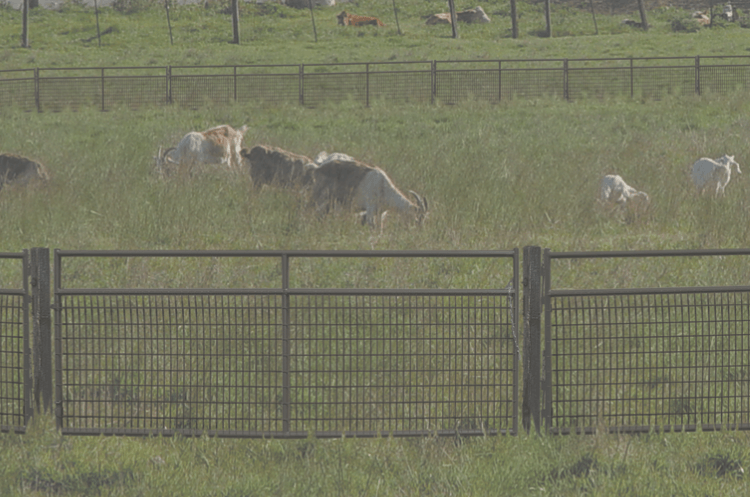 wire panels keeping goats in pasture
